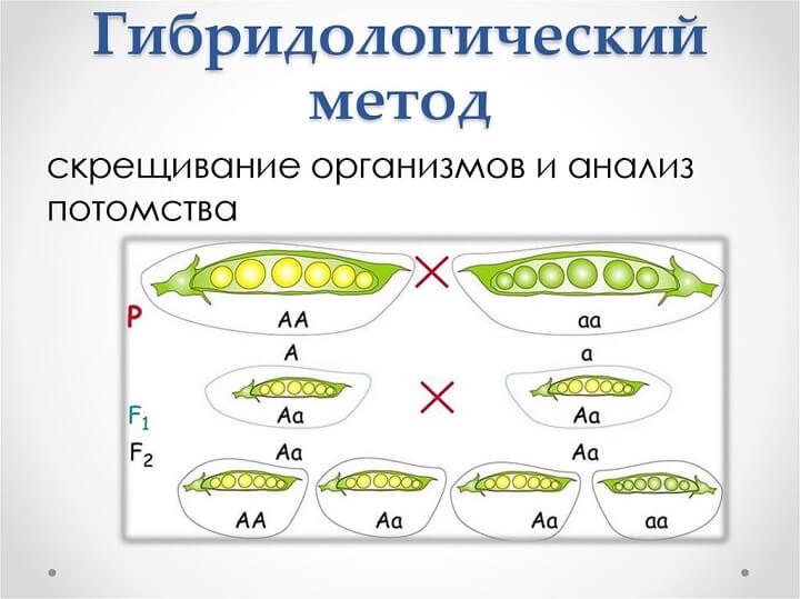 Гибридологический метод